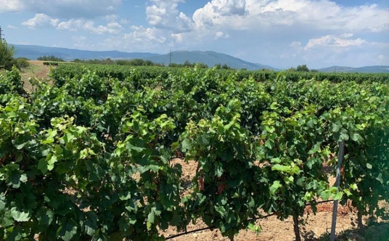 Wijngaarden in Smochevo Strumay Vallei