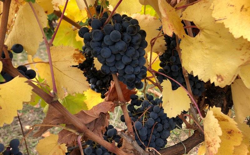 Wijngaard van Rumelia
