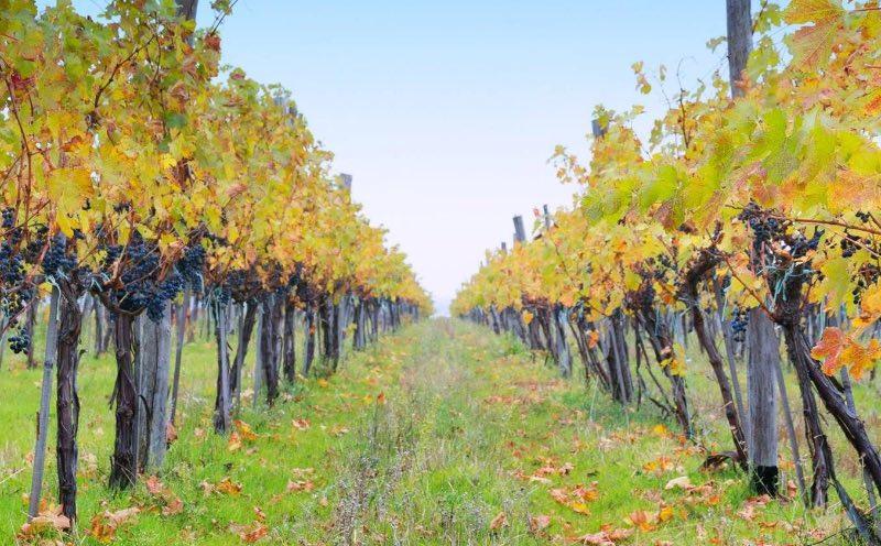 Wijngaarden van Rumelia in Thracië